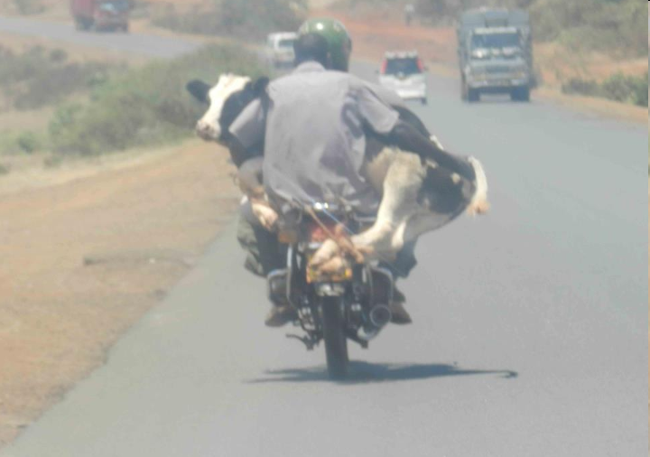 cow moped